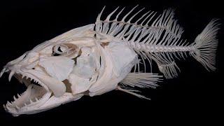 Как правильно НАРЕЗАТЬ Костлявую  вяленую, копчёную рыбу к пиву ! Чтобы в ней было меньше костей.