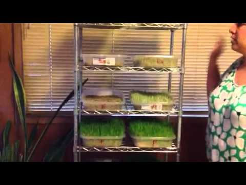 Step by Step Tutorial on Growing Sprouted Fodder for Small