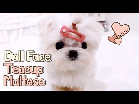 Micro teacup maltese puppies videos compilation - Teacup Puppy