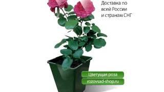 видео саженцы роз оптом в краснодаре