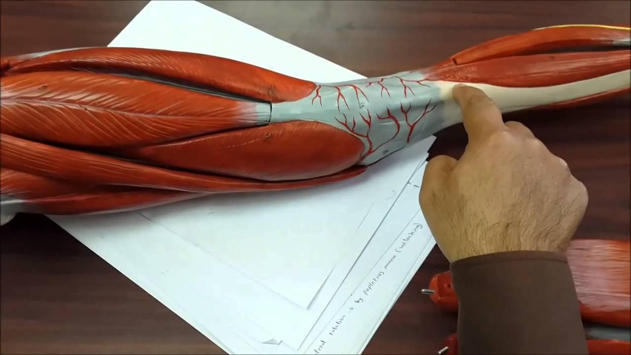 Anatomy Lower limb muscles - YouTube