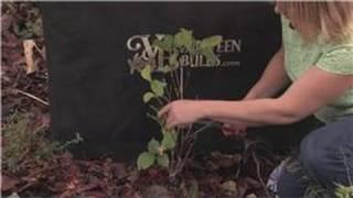 Gardening Tips : How to Prune Hydrangea Plants