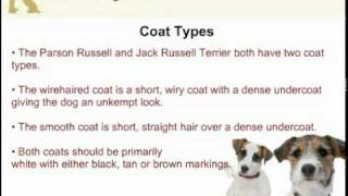 Jack Russell Terrier and Parson Russell Terrier  Are They Two Different Dog Breeds?