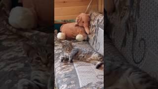 Котик редкой породы ПИКСИБОБ по имени Князь