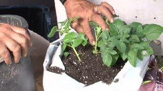 Potato Bag Gardening : Potato Planting