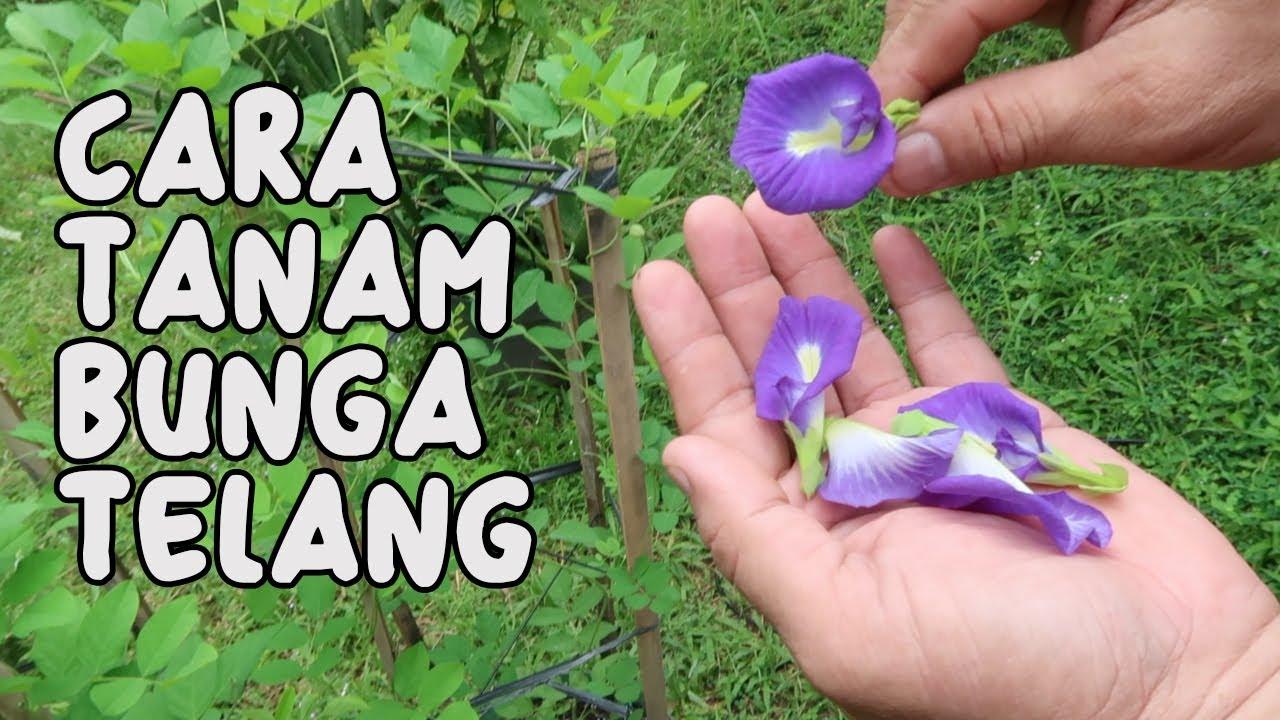 Cara Menanam Bunga Telang Butterfly Pea Youtube