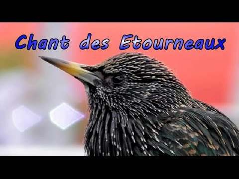 Starling, singing(song) in the Eiffel Tower in Paris