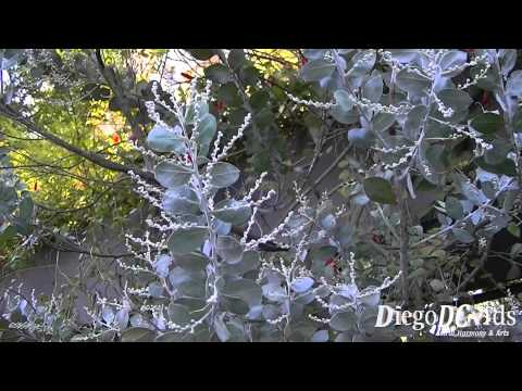 Acacia podalyriifolia - Acácia Mimosa - Mount Morgan Wattle (Fabaceae)
