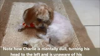 Dog Encephalitis Seizures Circling Southeast Veterinary Neurology