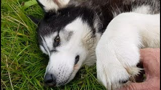 Malamute being stroked to sleep | A dogs life | CUTE