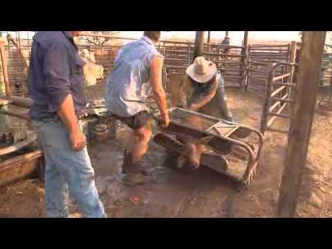 2.3 Marking Cattle