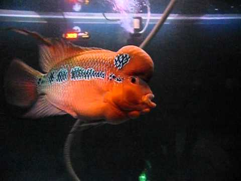 Imported flowerhorn for sale kolkata youtube for Flower horn fish price