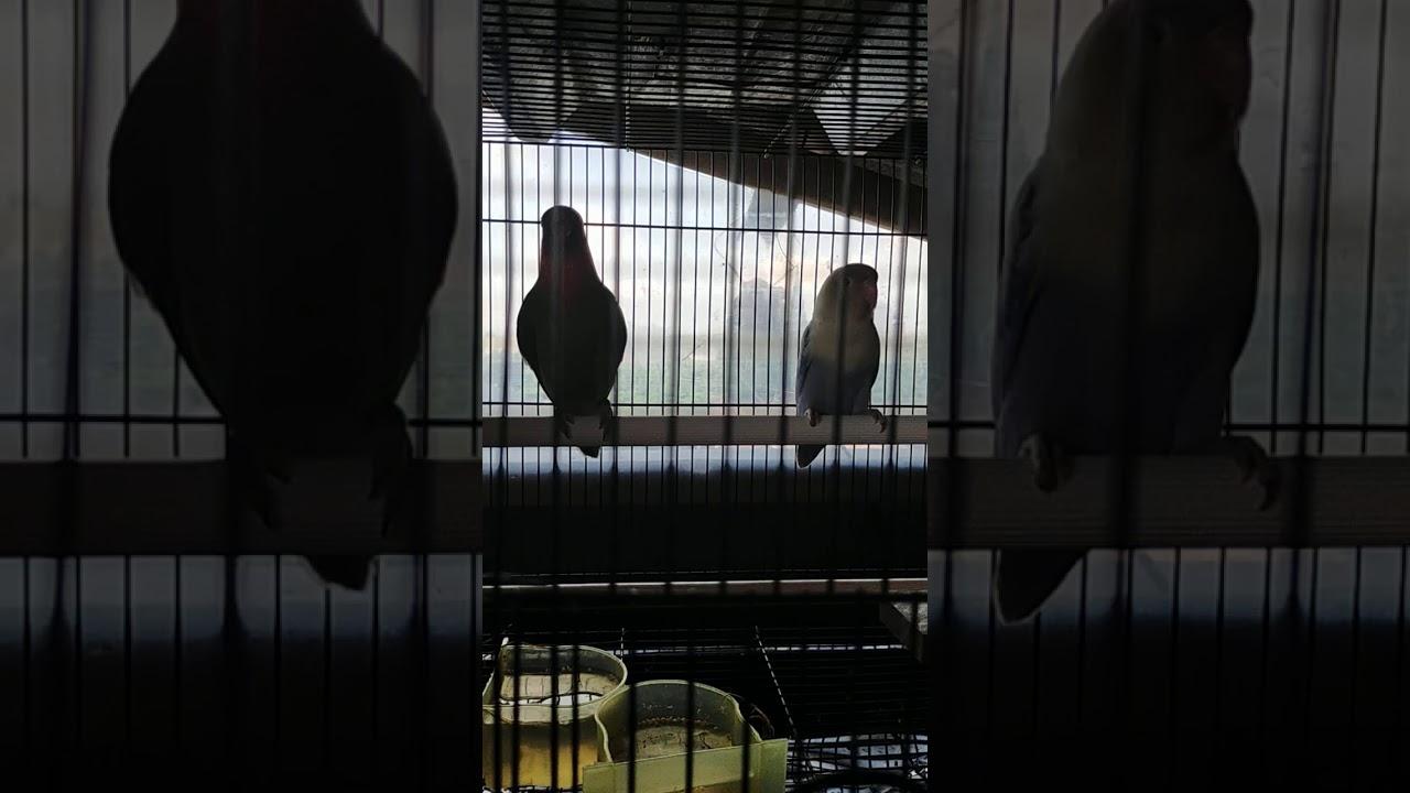 Lovebird Muka Salem Ozora Petshop Youtube