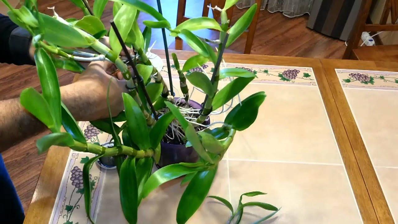 Орхидея детки пересадка
