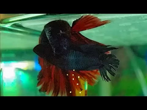 How to breed betta fish (part 2) - betta fish mating dance and eggs release