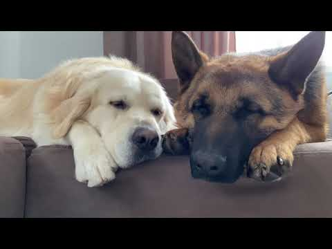 Golden Retriever and German Shepherd love to sleep together on the couch!