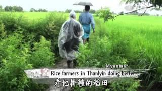 【Myanmar】 Rice Farmers In Thanlyin Doing Better
