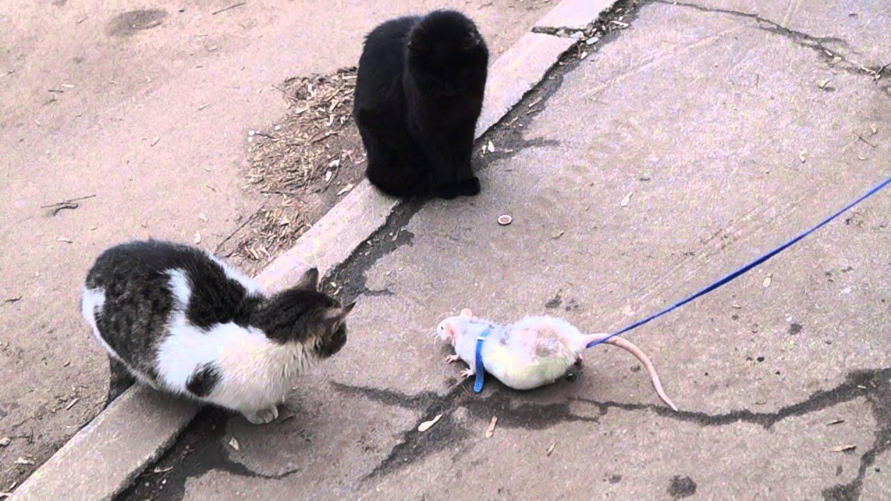 Видео коты против крысы