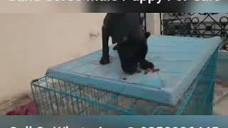 Cane Corso Black Male Puppy For Sale 9350926445