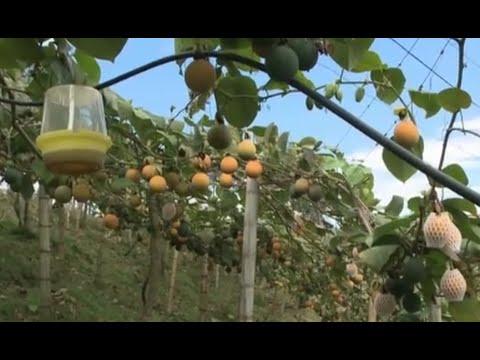 Fruta Granadilla Para Exportación En Huila Colombia- TvAgro Por Juan Gonzalo Angel