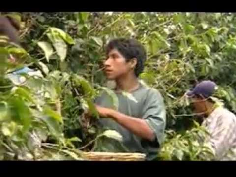 Growing Coffee in Mexico