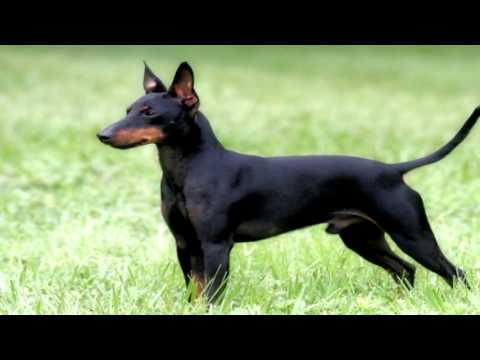 Manchester Terrier Flea Prevention