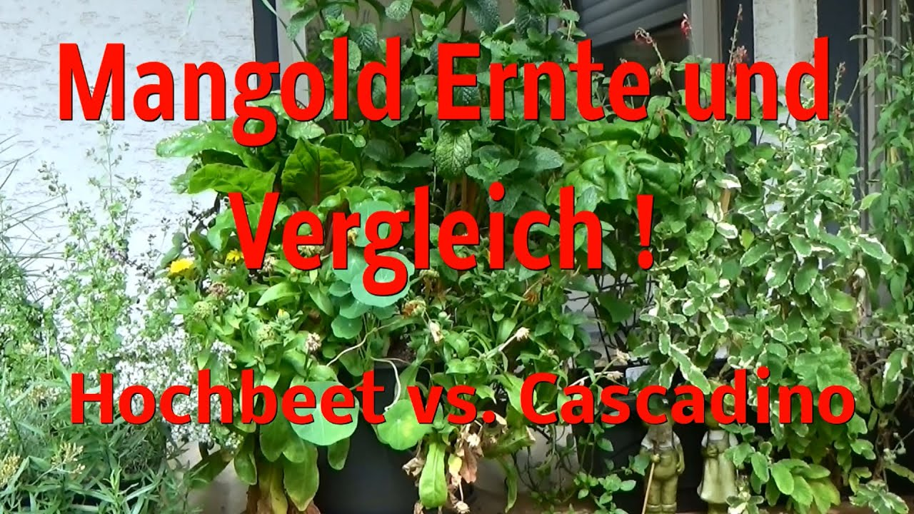 mangold ernte vergleich hochbeet vs pflanztopf cascadino youtube. Black Bedroom Furniture Sets. Home Design Ideas