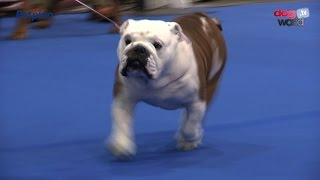 Manchester Championship Dog Show 2016 - Best in Show