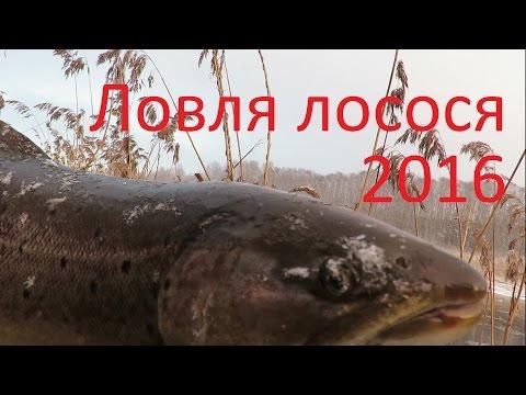 лосось ловля в ленинградской области