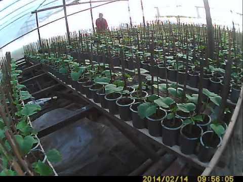видео: как сажать и выращивать огурец  расстановка