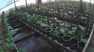 как сажать и выращивать огурец  расстановка(на этом видео продолжаем рассказывать как мы сажаем и выращиваем огурец, показываем готовую работу - огурец..., 2014-03-29T17:57:42.000Z)