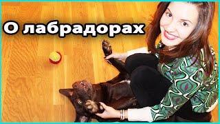 🐶 О ЛАБРАДОРАХ | Как мы завели собаку, уход, характер, повадки, здоровье лабрадоров 💜 LilyBoiko