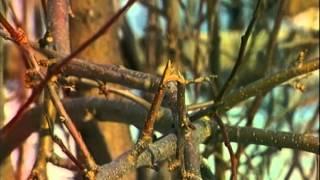 видео Как ухаживать за яблоней весной?