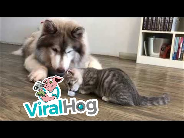 Impatient Pooch Takes Ice from Cat || ViralHog
