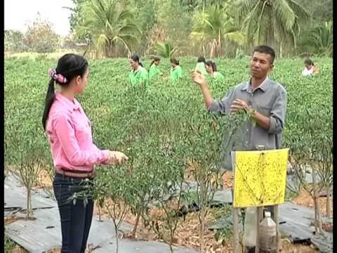 57026 ห้วยแถลงโมเดลกลุ่มเกษตรกรผู้ปลูกพริกเพื่อการส่งออก30 มี ค 57