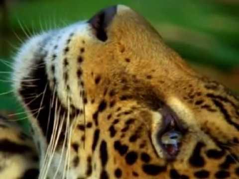 Jaguar trips on DMT  and Reindeer eat Amanita mushrooms