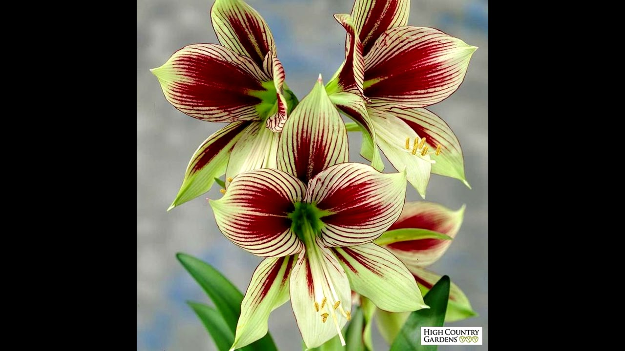 Beautiful Lily Flowers Different Variety Of Lily Flower What Are