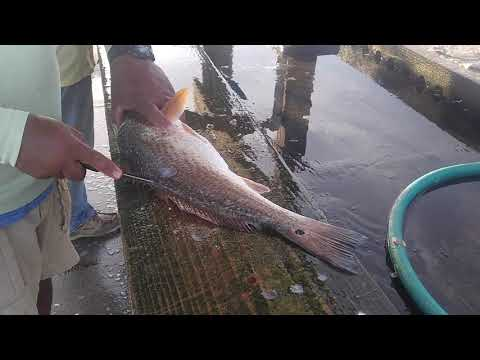 The BEST method to clean a redfish!