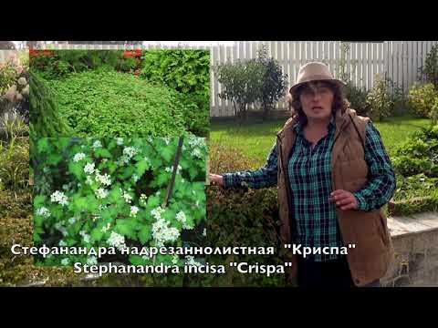 Стефанандра - идеальное растение для склонов