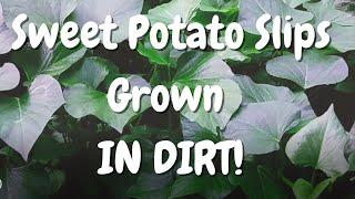 GROWING Sweet Potato SLÏPS Like My DADDY Did!