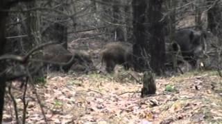 Охота  с лайками на кабана Сумская обл часть 1