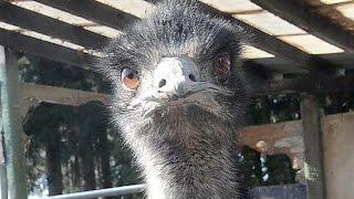 群馬県高崎市内の飼育場から逃げだし捕獲された後に死亡した1羽ととも...