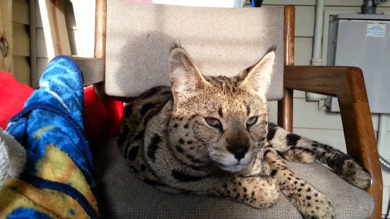 Savannah cat f1 - YouTube