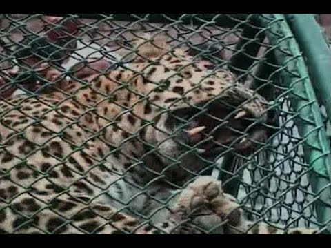 Leopard captured with help of tranquilizer in Meerut