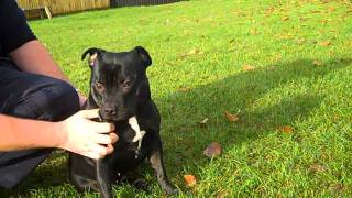 Remmi Is A Black Staffordshire Bull Terrier Available For Rehoming At The Burdord Adoption Centre