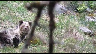 La osezna Saba, recuperada en Cantabria, retoma con normalidad su actividad
