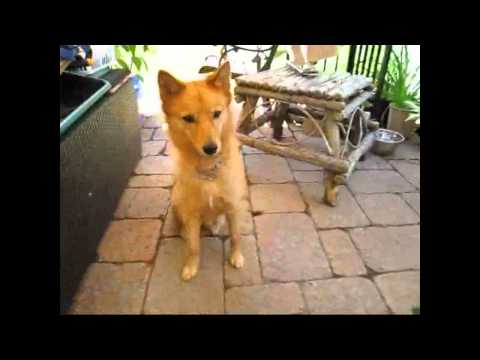 Finnish Spitz - An Owner's Manual Part 1 - Understanding Your Dog