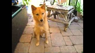 Finnish Spitz  An Owner's Manual Part 1  Understanding Your Dog