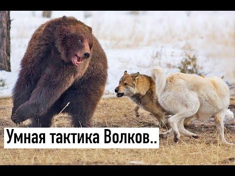 Вопрос: Почему волки едят мясо и худые, а коровы траву и толстые?