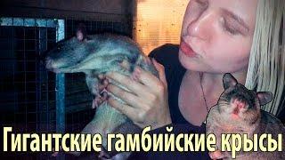 Гигантские гамбийские крысы и другие питомцы Zoocom Club